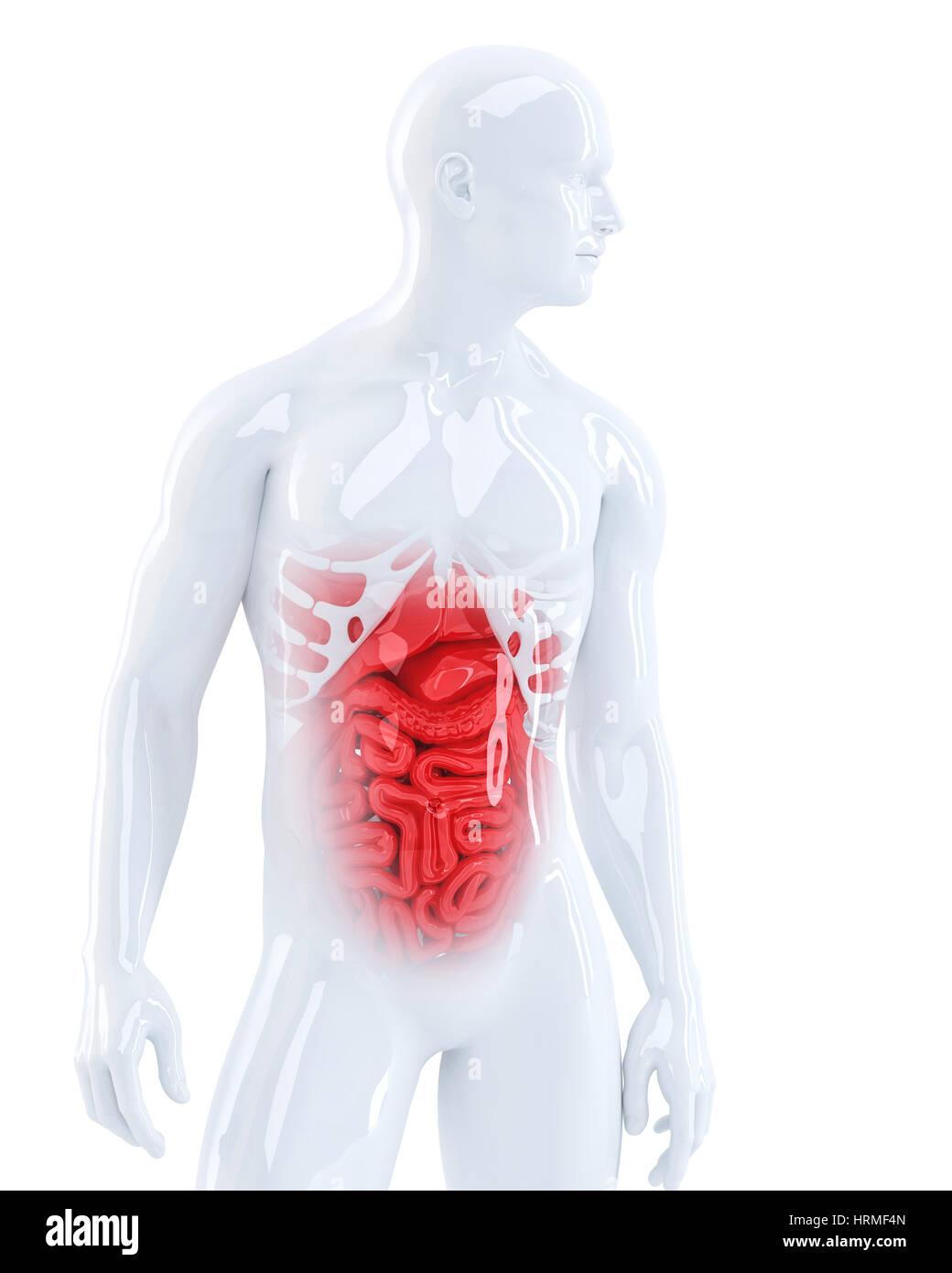 Fantastisch Männliche Menschliche Anatomie Organe Zeitgenössisch ...