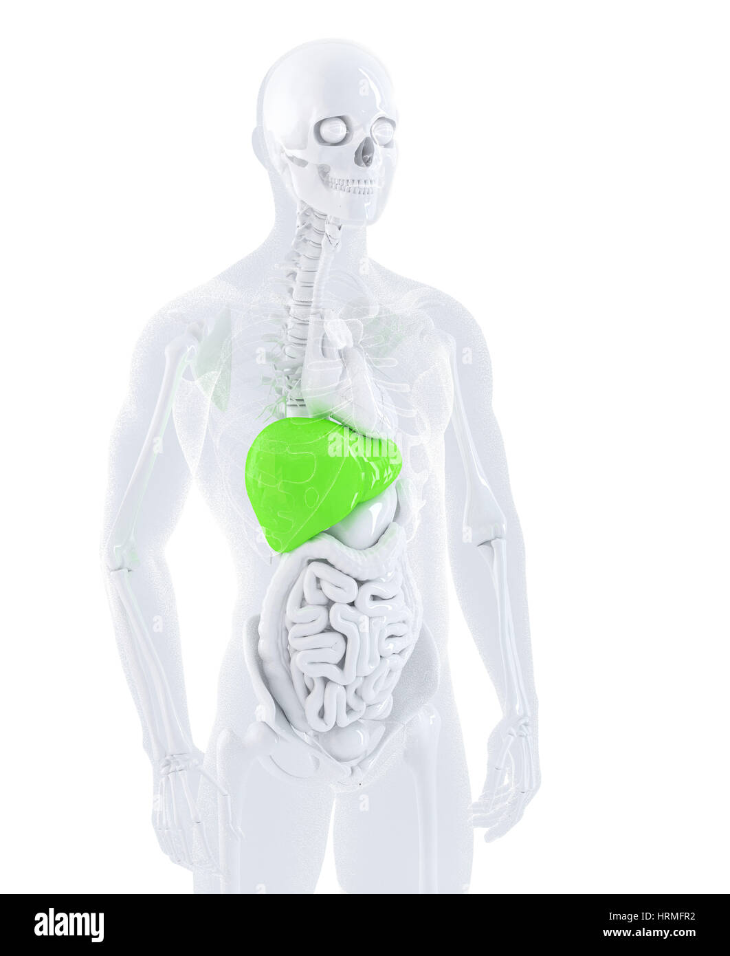 Guts Anatomy Stockfotos & Guts Anatomy Bilder - Alamy