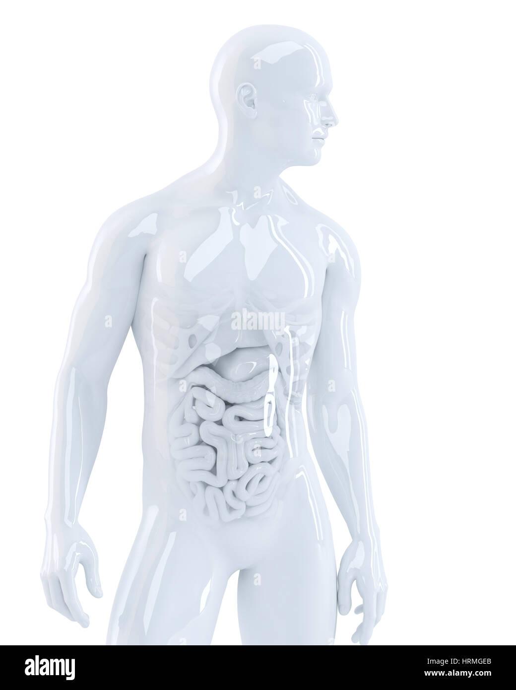 Menschlichen Körper mit inneren Organen. 3D Illustration. Isoliert ...