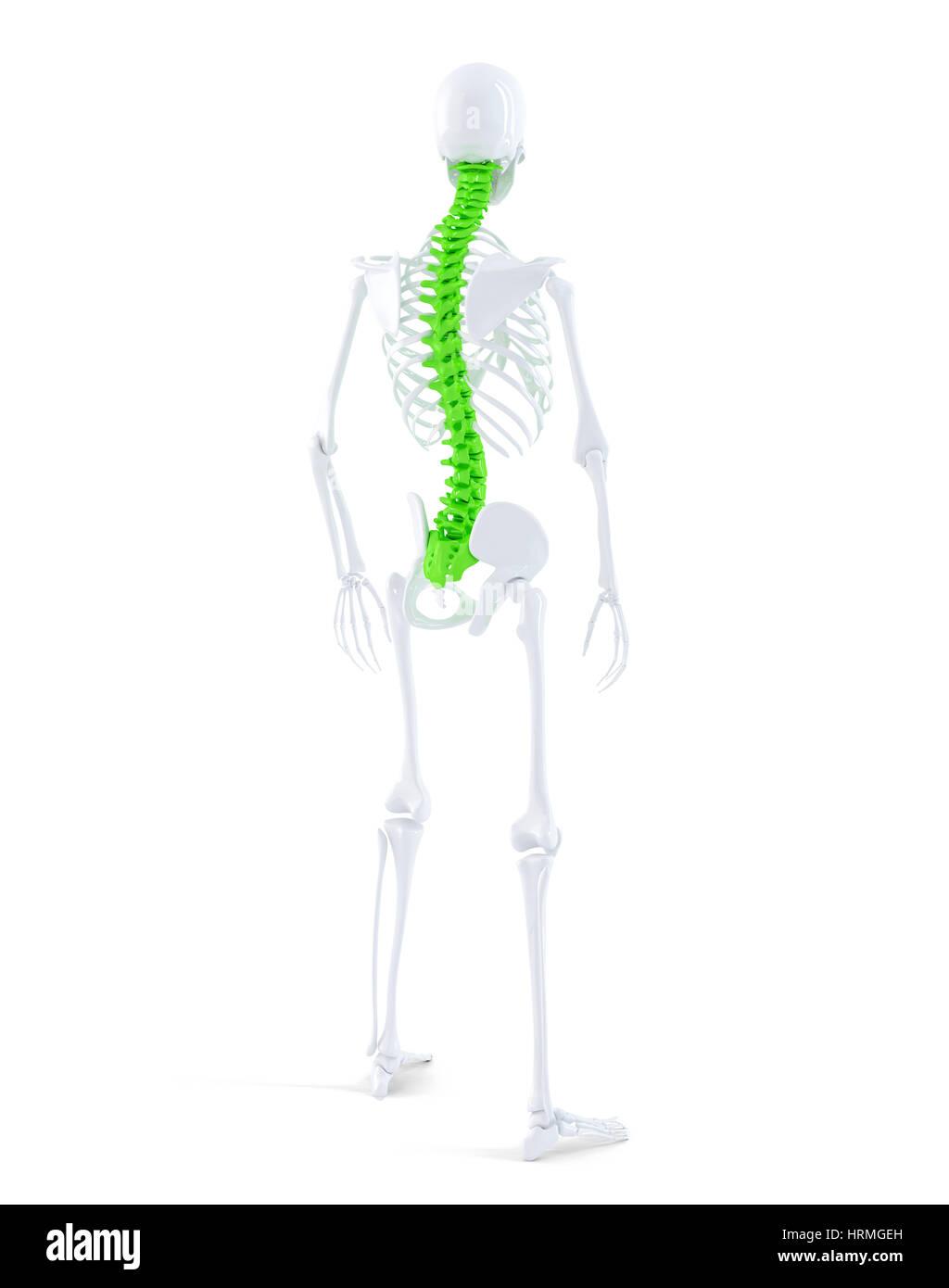 Atemberaubend Kennzeichnung Menschliches Skelett Zeitgenössisch ...