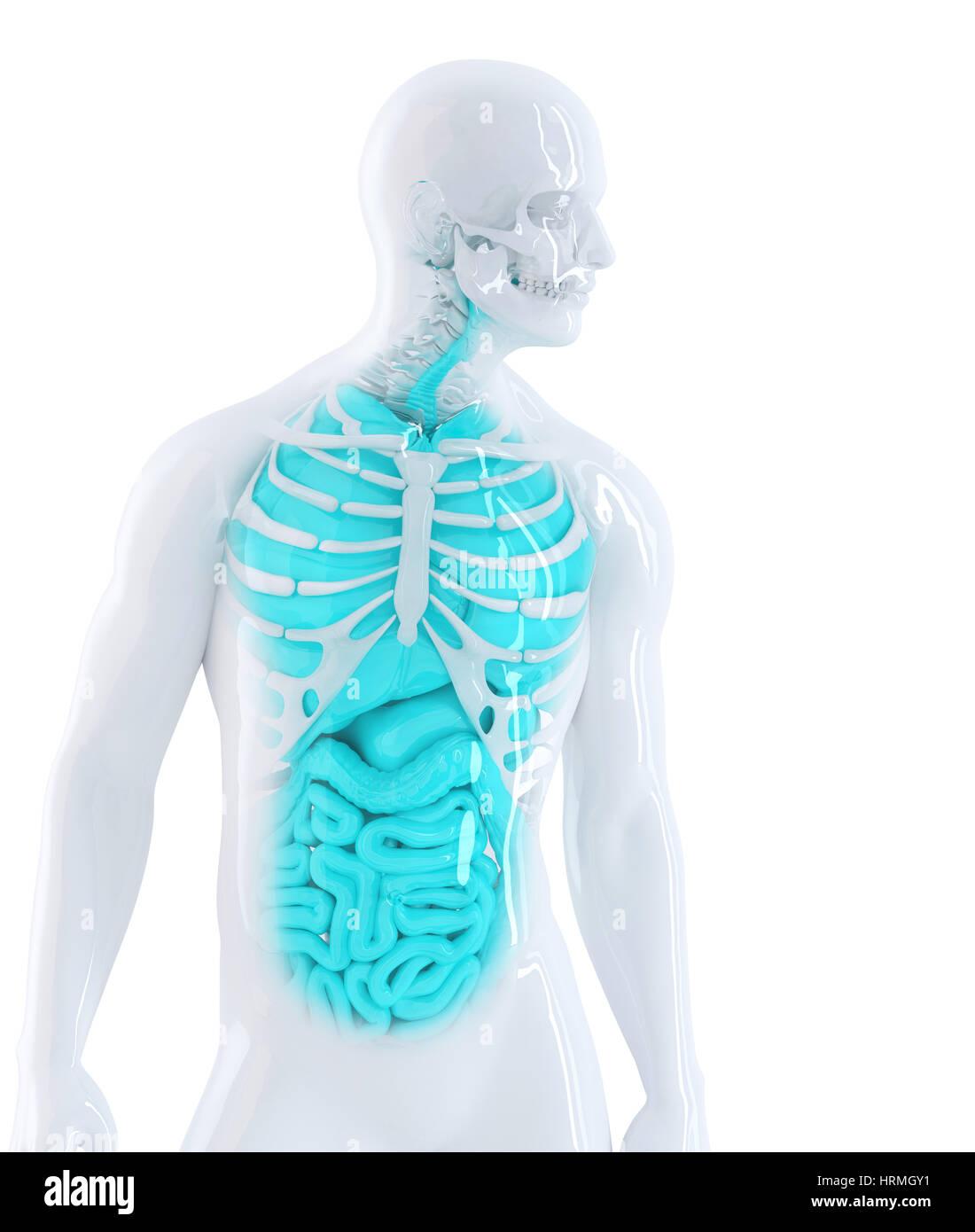 3D Abbildung des menschlichen Innenorgane. Isoliert auf weiss ...