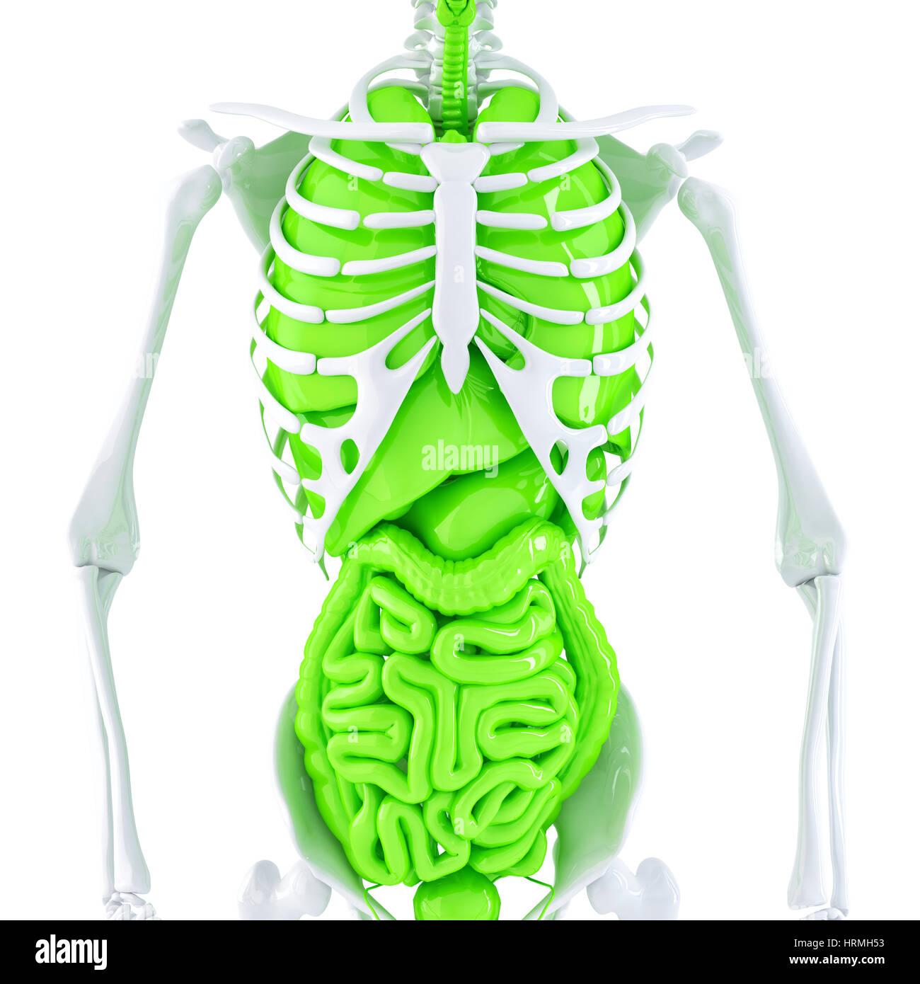 3D Abbildung des menschlichen Skeletts und der inneren Organe ...
