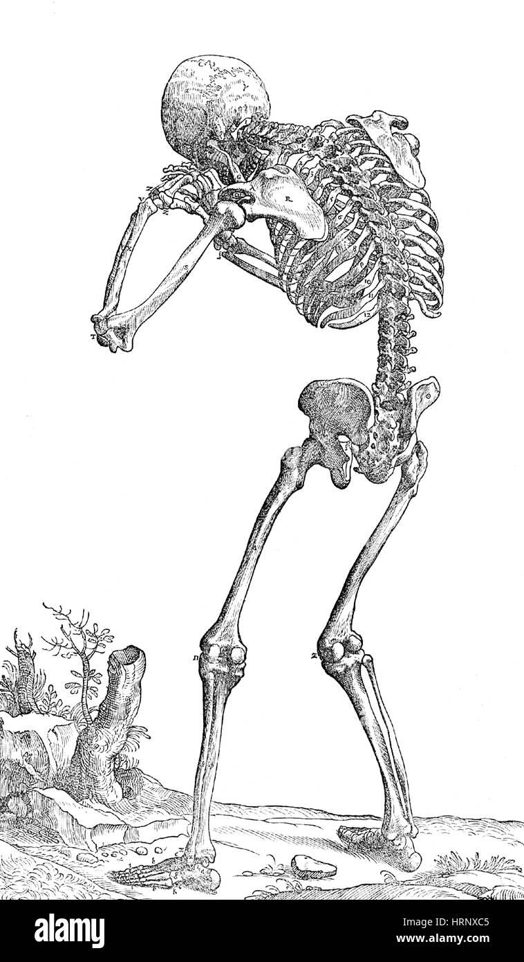 Skelett Anatomie, Vesalius, 16. Jahrhundert Stockfoto, Bild ...
