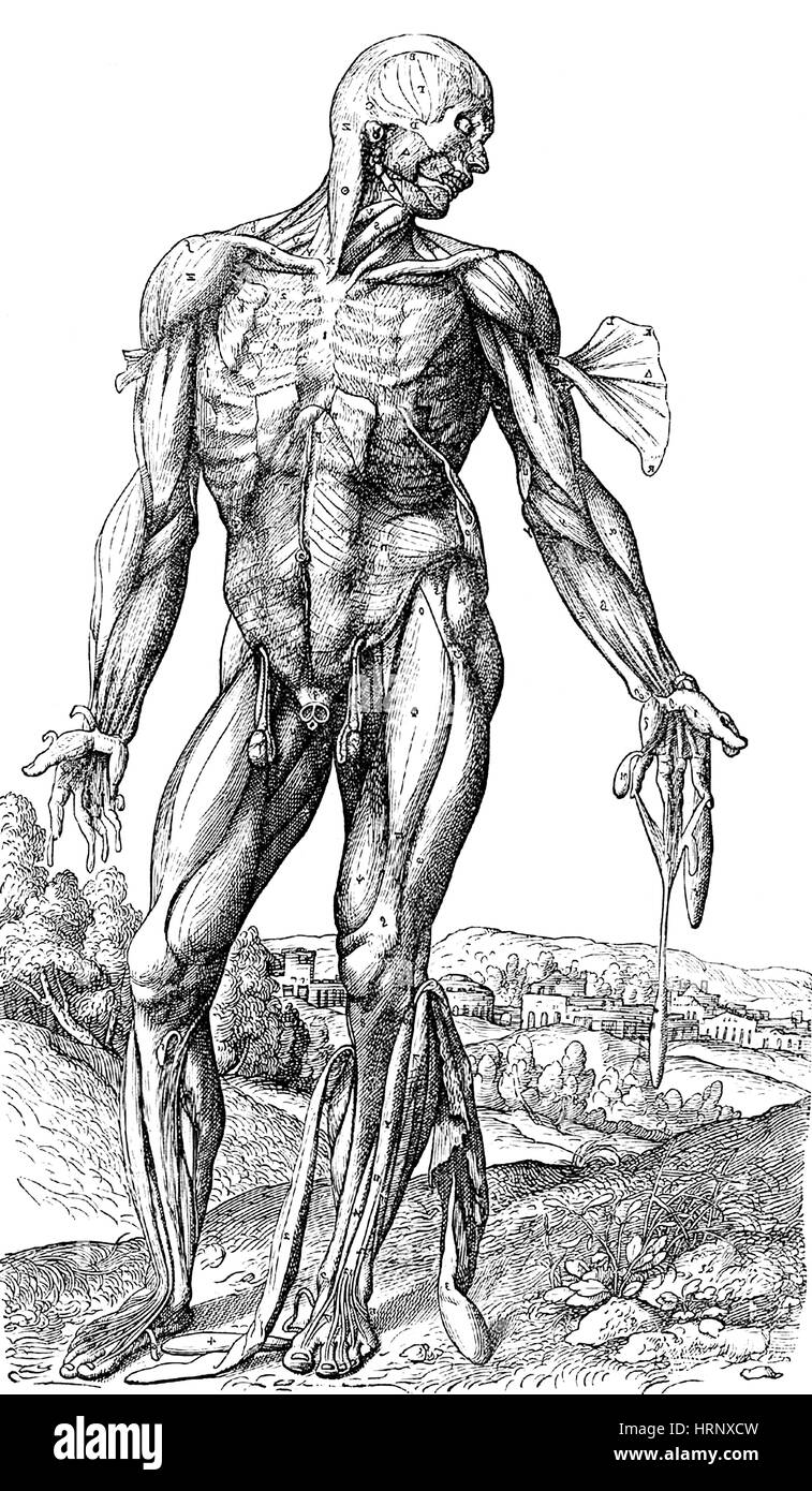 Vesalius menschlichen Muskulatur Anatomie, 4 von 6 Stockfoto, Bild ...