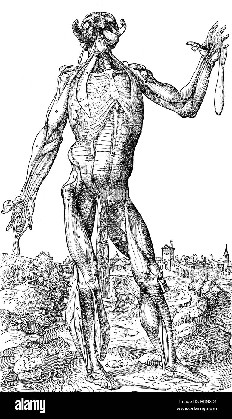 Vesalius menschlichen Muskulatur Anatomie, 6 von 6 Stockfoto, Bild ...