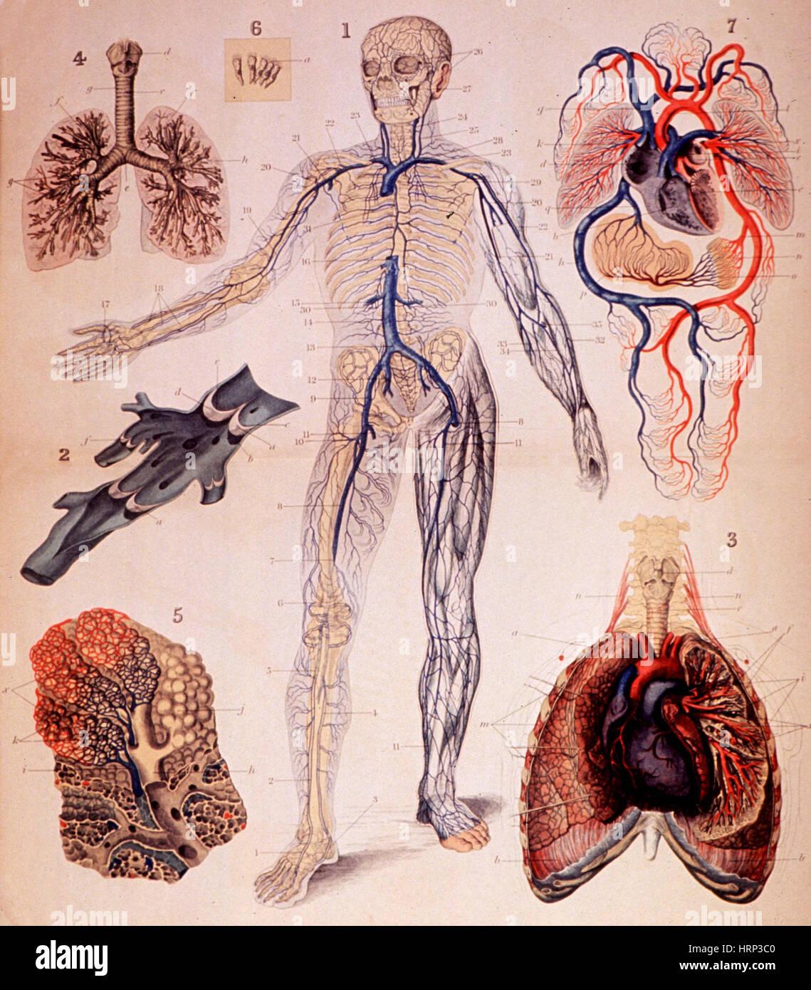 Venen und Lunge, Atlas der menschlichen Anatomie Stockfoto, Bild ...