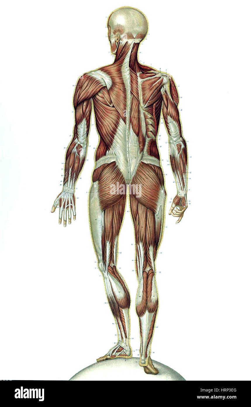 Ausgezeichnet Vater Der Modernen Anatomie Fotos - Anatomie Ideen ...