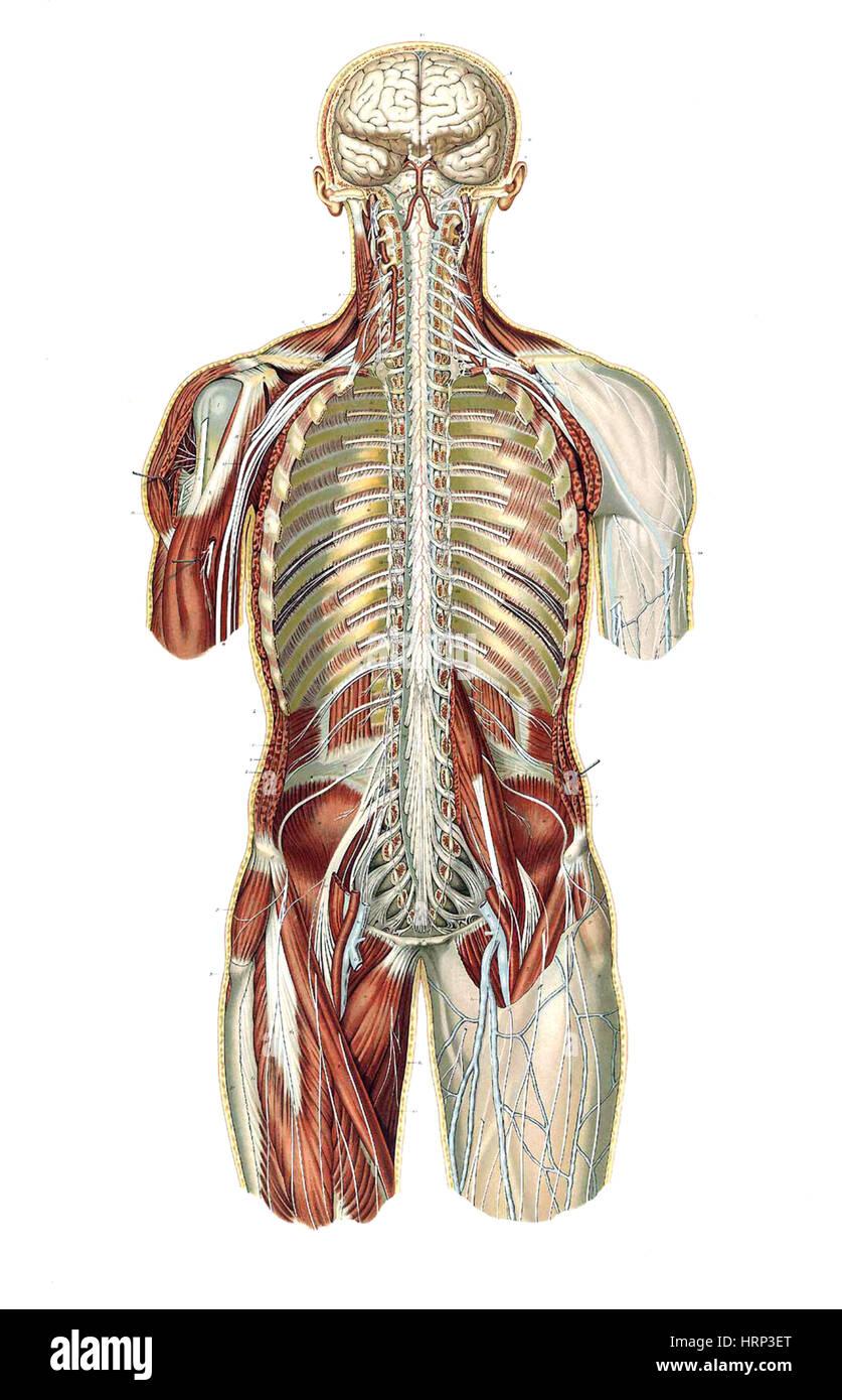 Schön Weichgewebe Hals Anatomie Fotos - Menschliche Anatomie Bilder ...