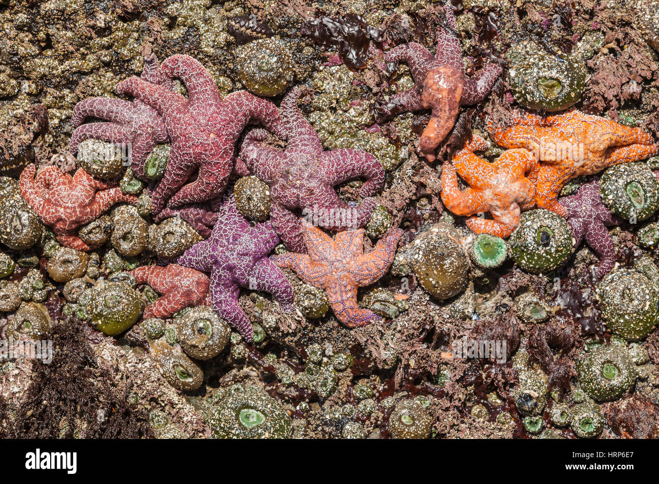Ein Felsen bedeckt mit Seeanemonen und Seesterne. Einige der die Seesterne haben Seestern Krankheit, 2013 2. Strand Stockbild