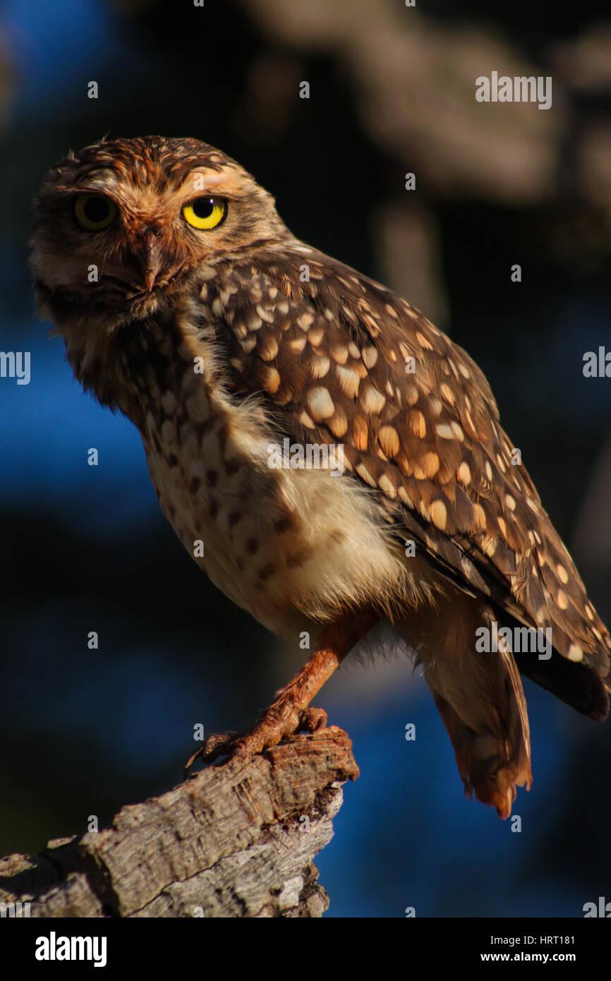 Kanincheneule - Brasilien - im Gegensatz zu den meisten anderen Eulen, Burrowing Owls sind aktiv, tagsüber Stockbild