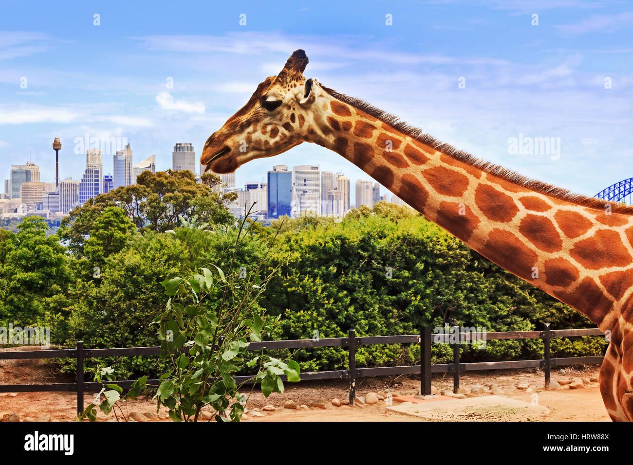 Giraffe Kopf und langen Hals während der Fütterungszeiten erhebt sich über der Stadt Sydney CBD und Stockbild