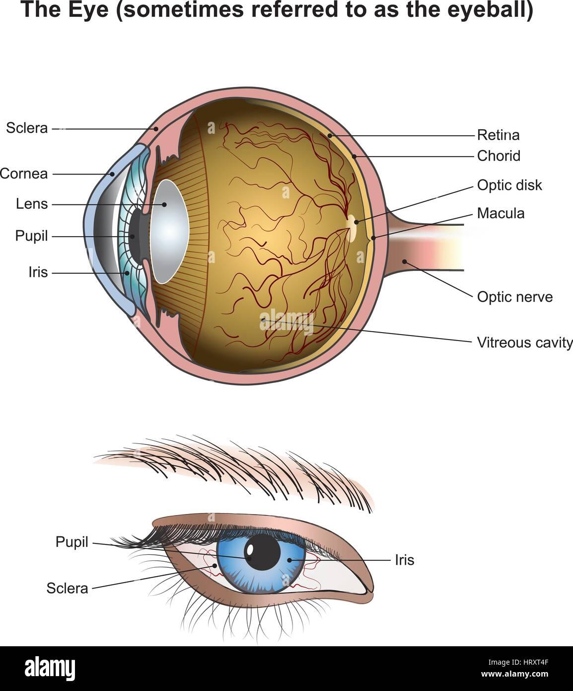 Tolle Anatomie Der Iris Ideen - Menschliche Anatomie Bilder ...