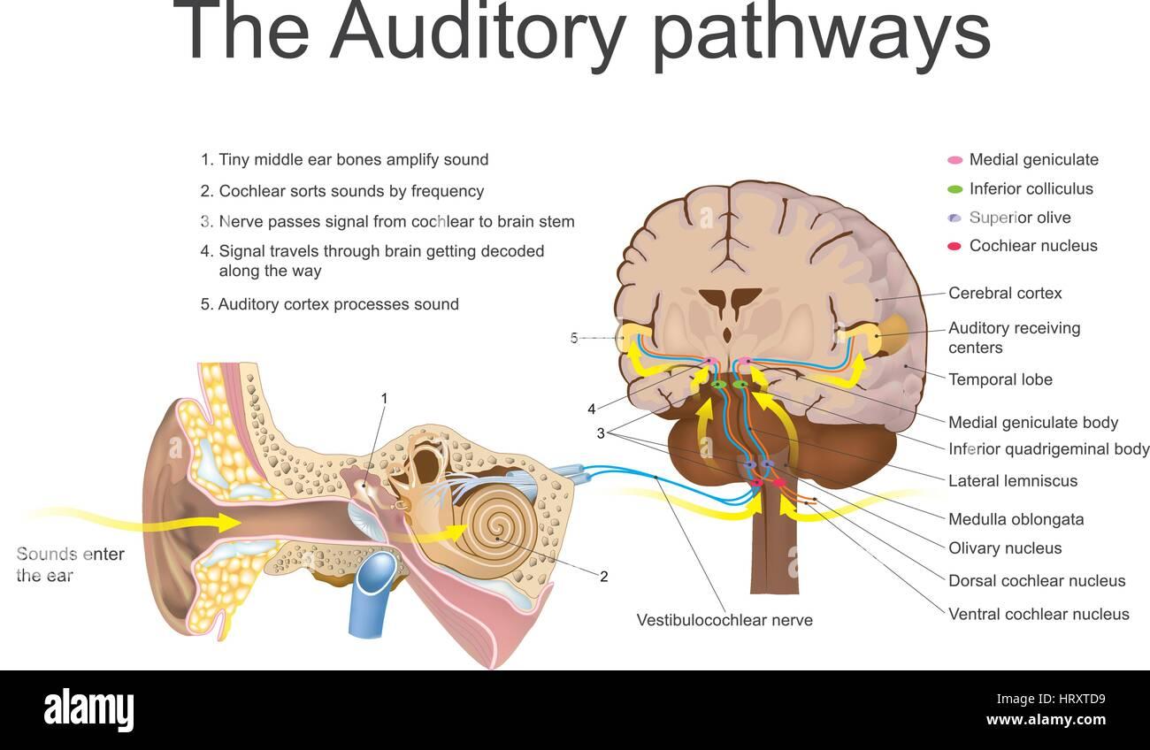 Sensory System Stockfotos & Sensory System Bilder - Alamy