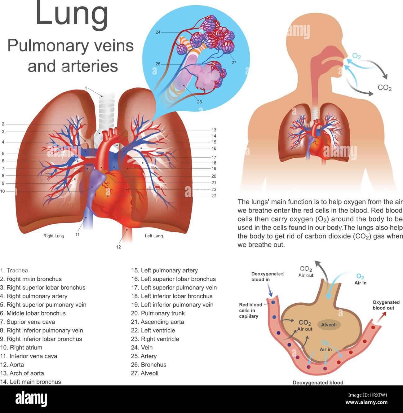 Die Lungen sind der primären Organe der Atmung bei Menschen und ...