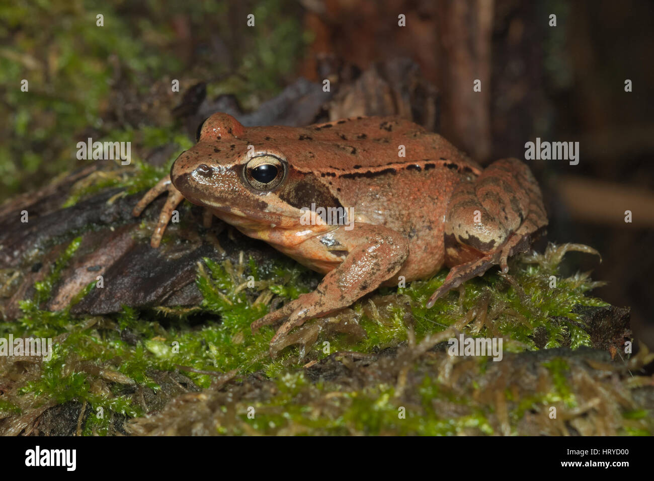 Male And Female Frog Stockfotos & Male And Female Frog Bilder ...
