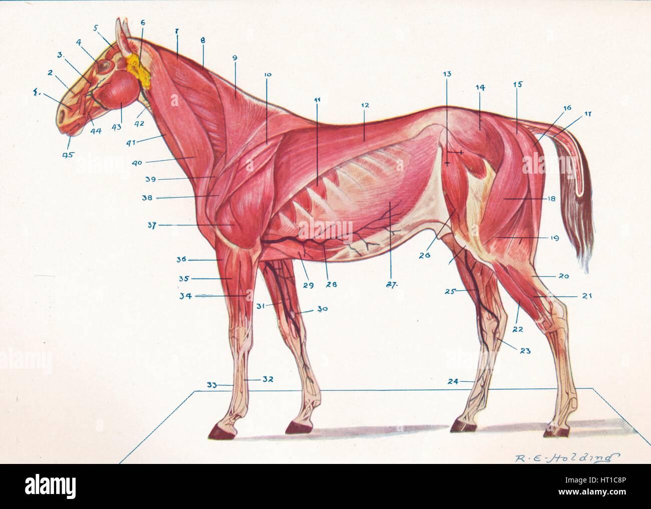 Oberflächlichen Muskeln, Sehnen, etc. eines Pferdes, c1907 (c1910 ...