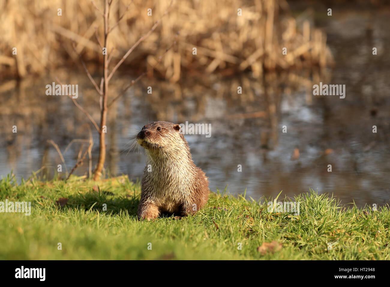 Fischotter entstand aus Teich auf dem Rasen Warnung suchen. Stockfoto