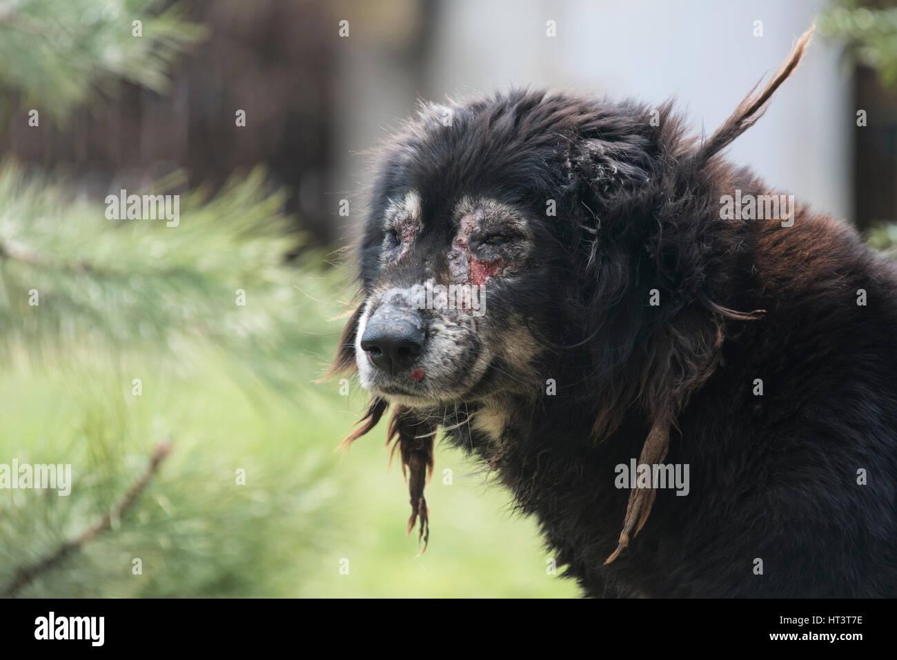 Hund Krank Mit Räude Krätze Stockfoto Bild 135309202 Alamy
