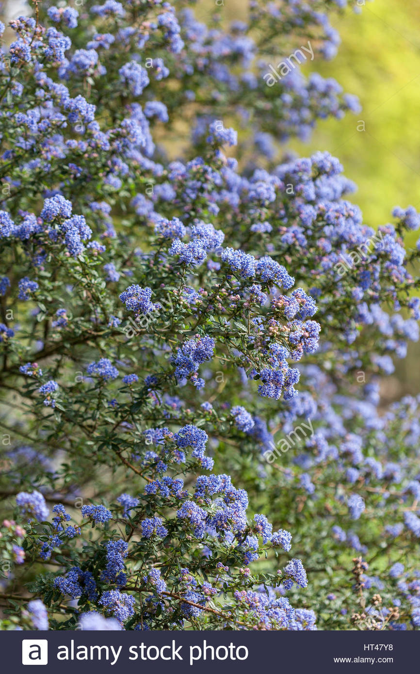 ceanothus x veitchianus immergr ner strauch mit blauen bl ten im fr hjahr stockfoto bild. Black Bedroom Furniture Sets. Home Design Ideas