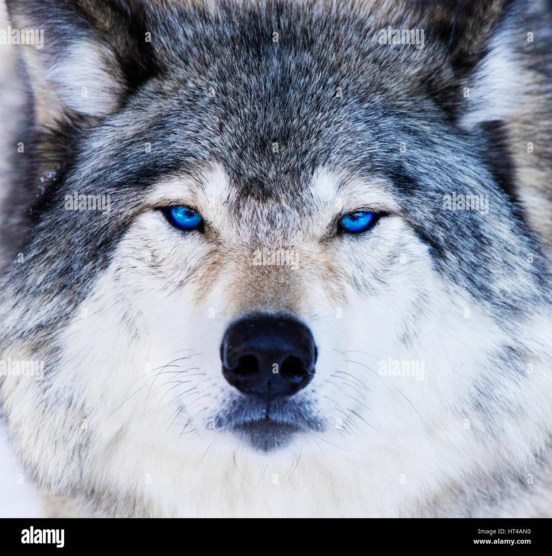 Augen Wolf