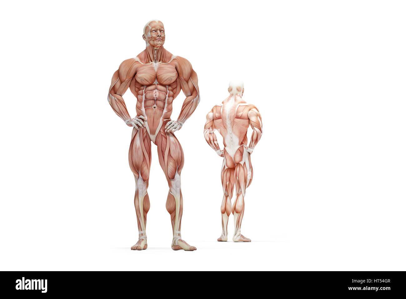 3D Abbildung des menschlichen Muskel Anatomie. Isoliert. Clipping ...