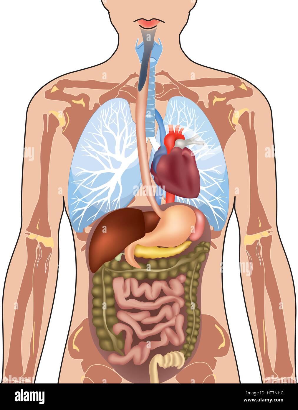 Menschliche Körper Anatomie. Vector Illustration auf weißem ...