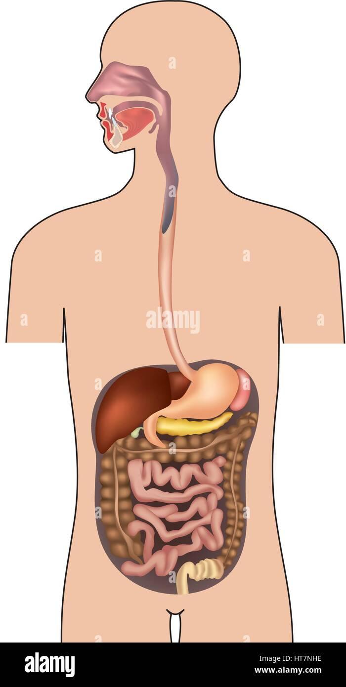 Menschliche Verdauungssystem. Magen-Darm-System mit Details. Vector ...