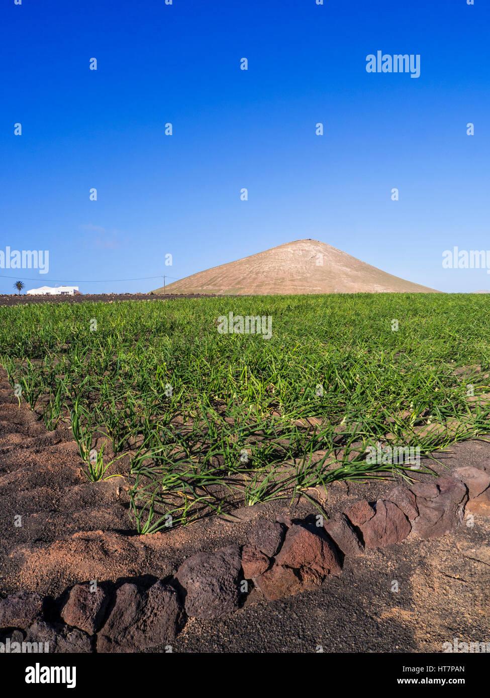 Landwirtschaft lanzarote vulkanischen boden felder der for Boden ist lava