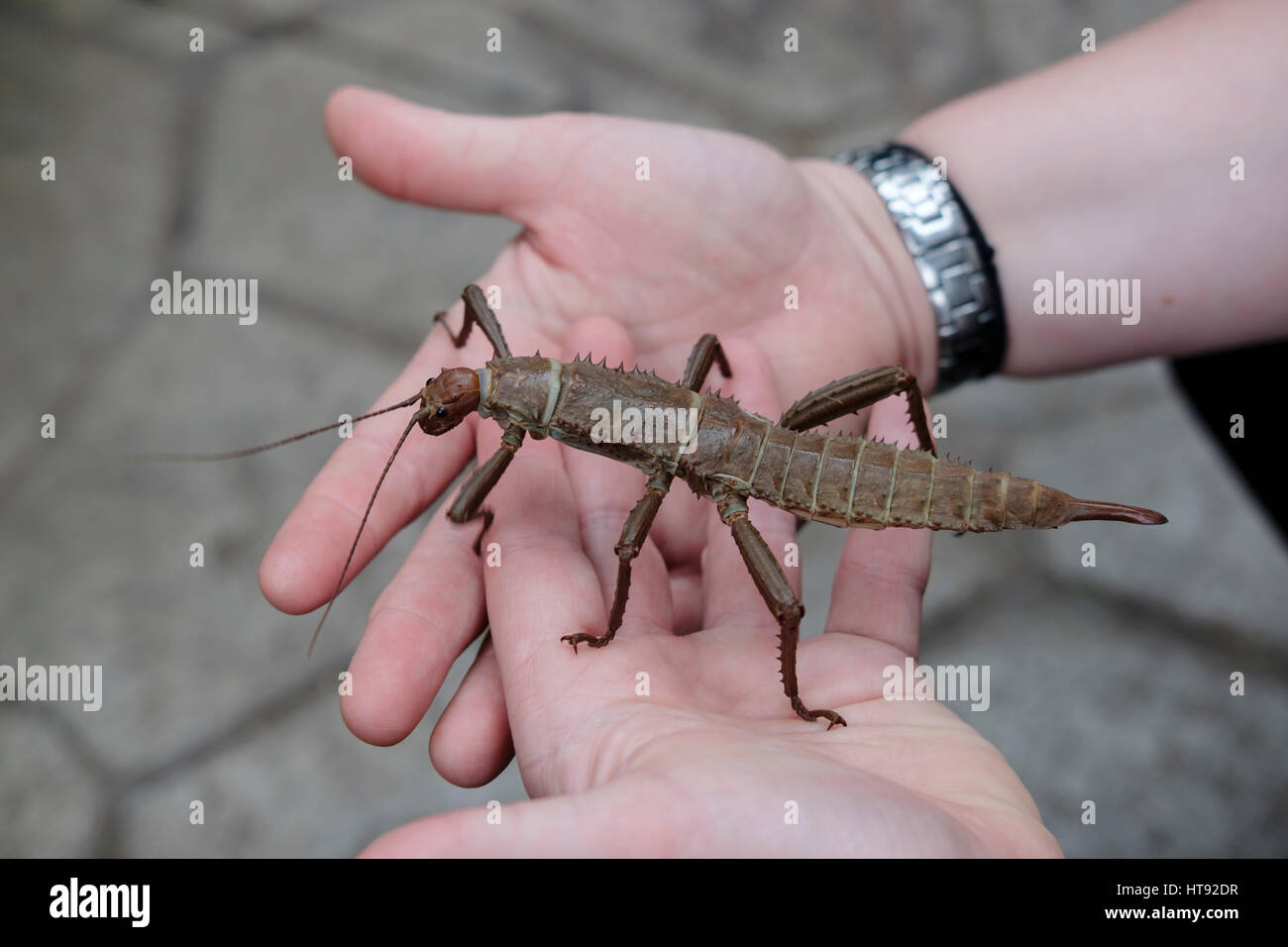 Spiny Stick Insect Stockfotos & Spiny Stick Insect Bilder - Alamy