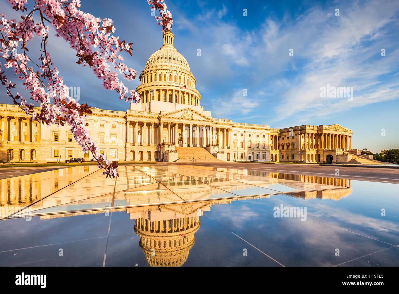 U.S. Capitol über blauer Himmel mit blühenden Kirschbaum im Vordergrund Stockbild