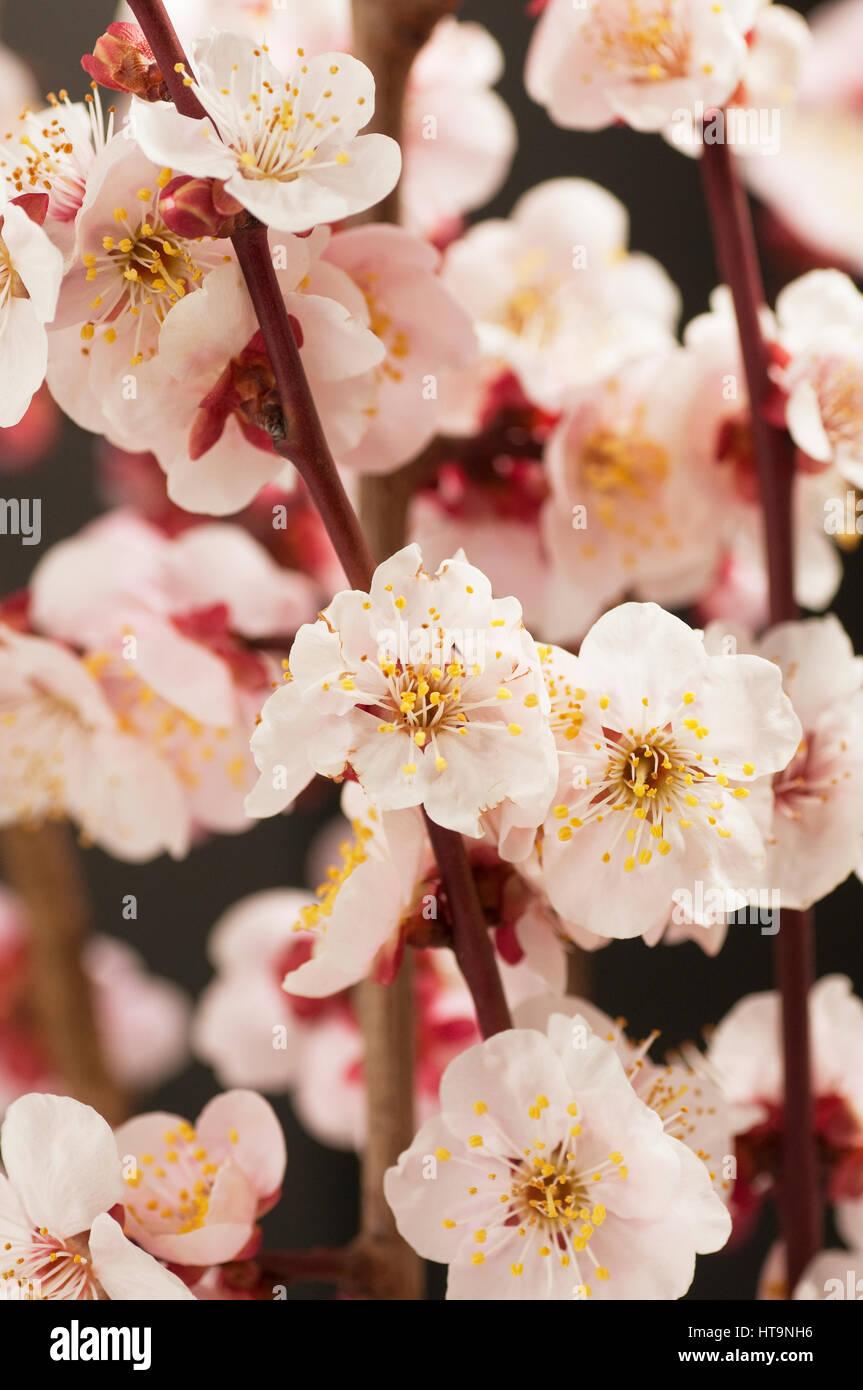 Aprikosenbaum blüht Stockbild