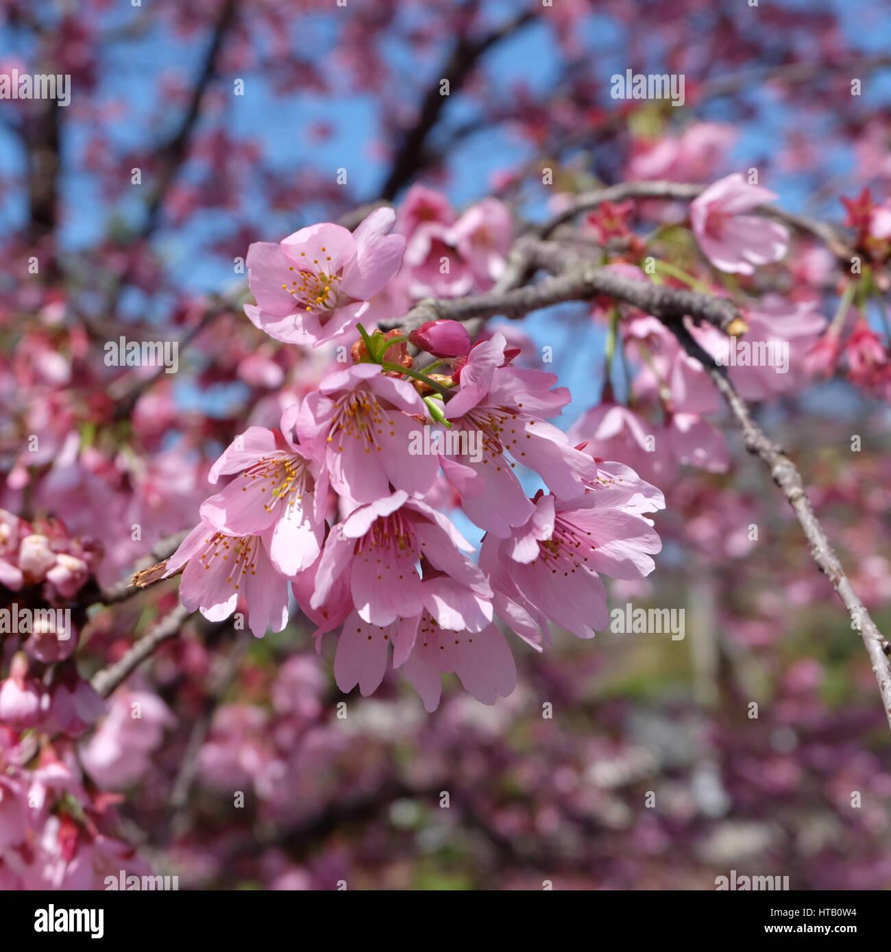 Schöne Rosa Kirschblüte Sakura Blumen Blühen Im Frühling Um März
