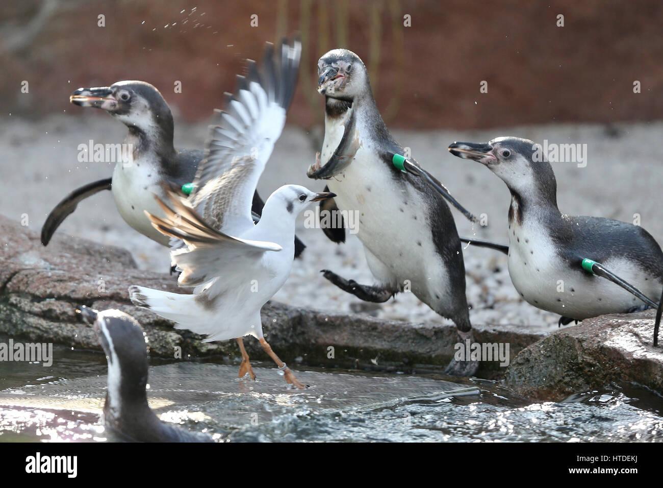 Dpatopimages Eine Möwe Kämpfen Unter Den Pinguinen Am Tierpark In