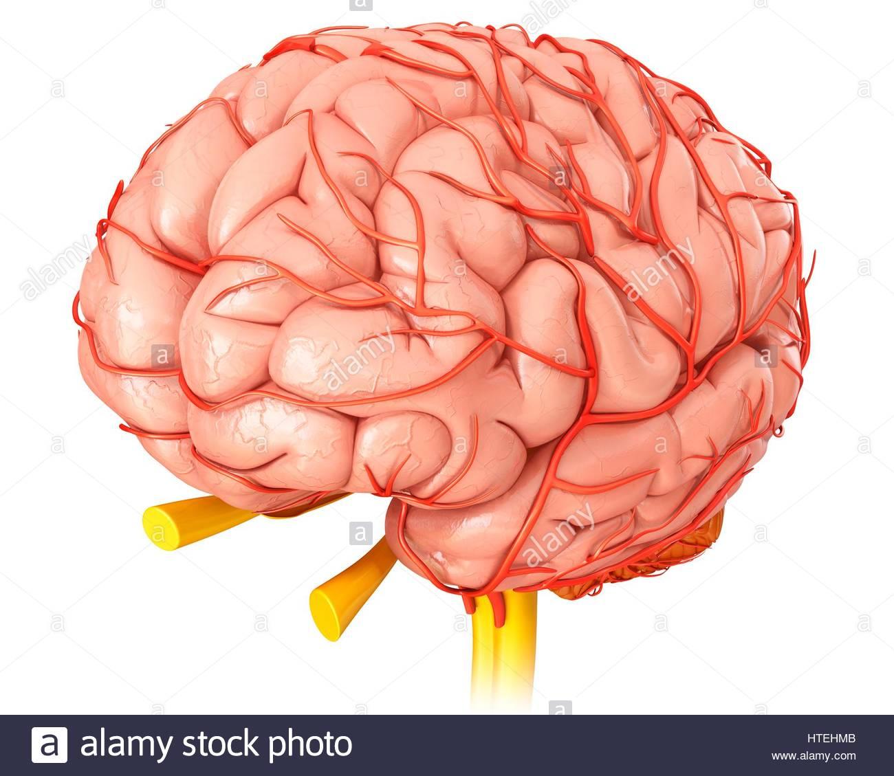 Darstellung der Anatomie des menschlichen Gehirns und seine Arterien ...