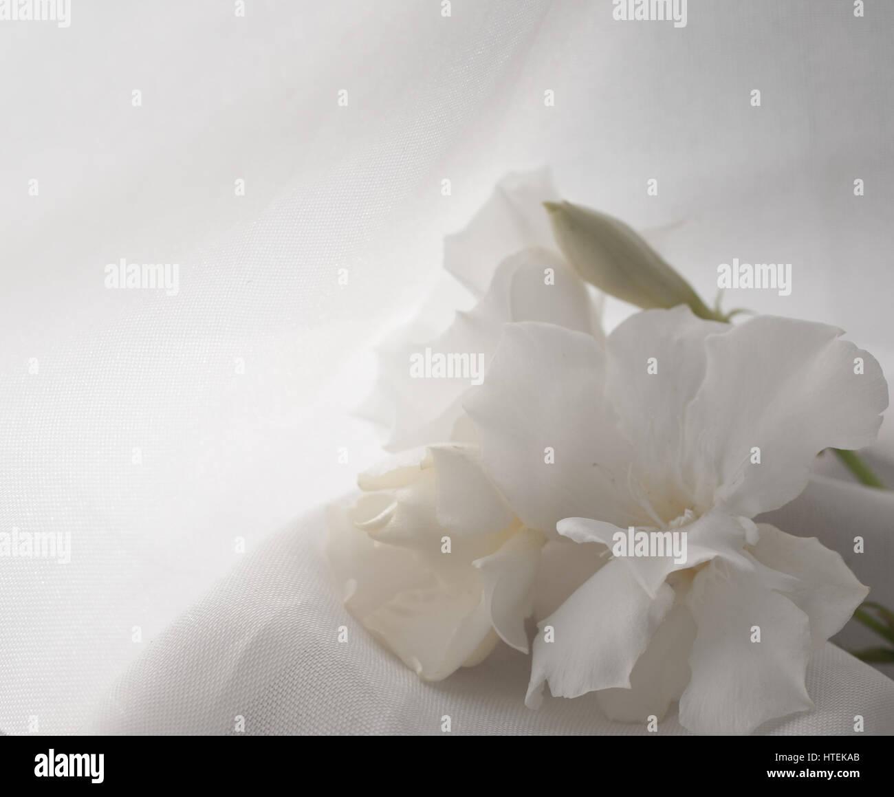 White Oleander Flower Stockfotos White Oleander Flower Bilder Alamy