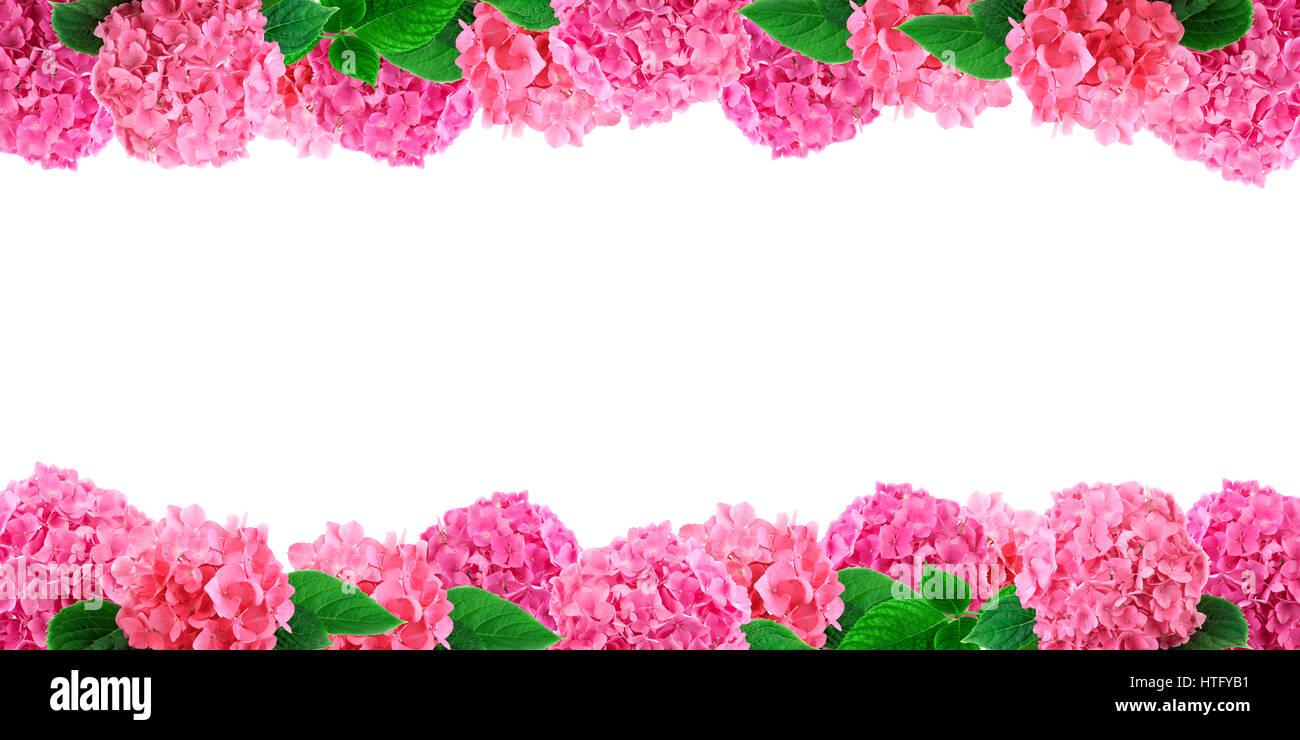 rosa hortensia blumen auf wei em rahmen hortensie blume hintergrund mit freiem speicherplatz. Black Bedroom Furniture Sets. Home Design Ideas