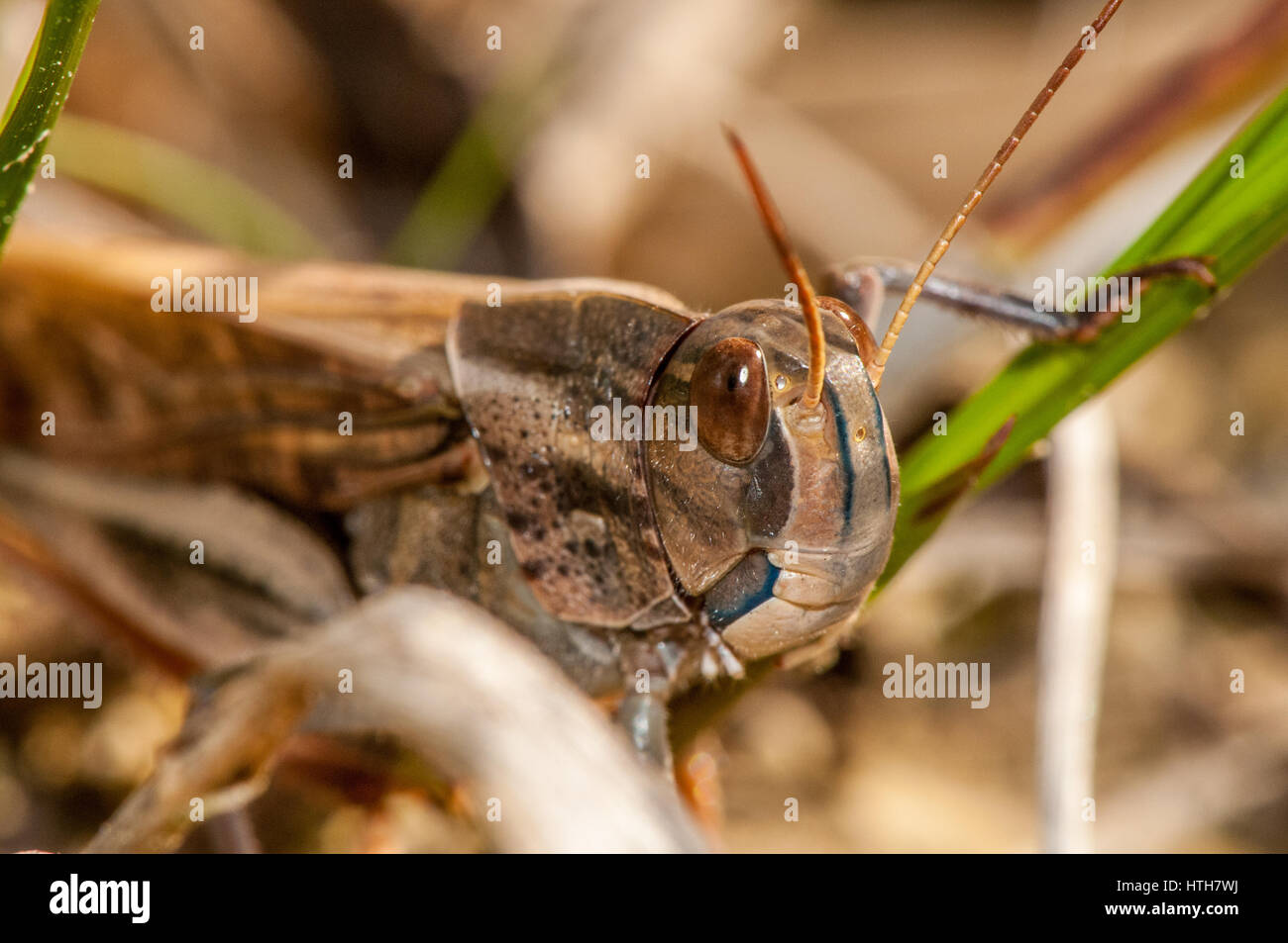 Nahaufnahme eines Insekts (Locusta Migratoria Cinerascens) Stockbild