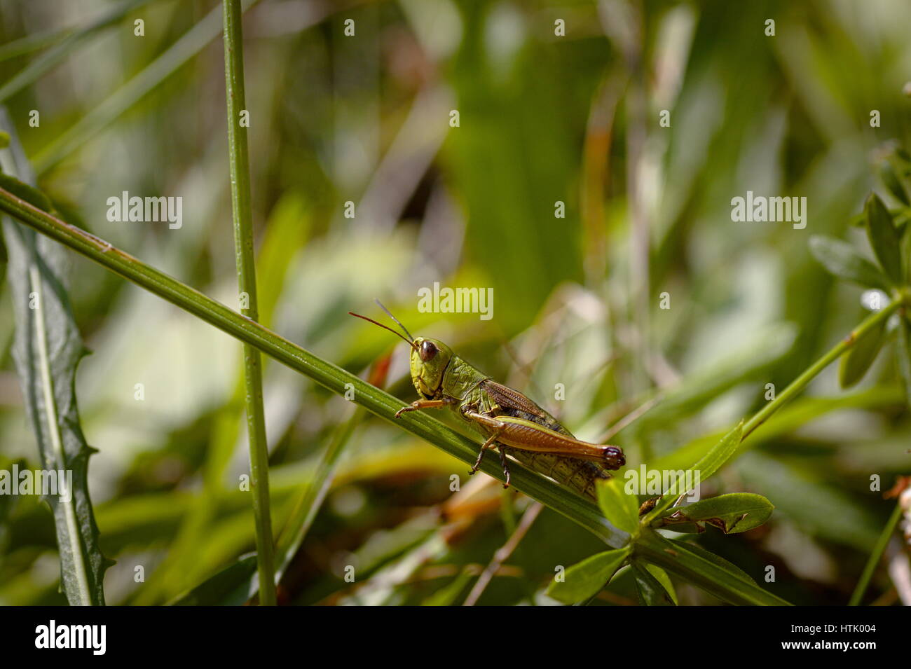 Grüne Heuschrecke auf einem Stiel des Grases in Lika, Kroatien Stockfoto