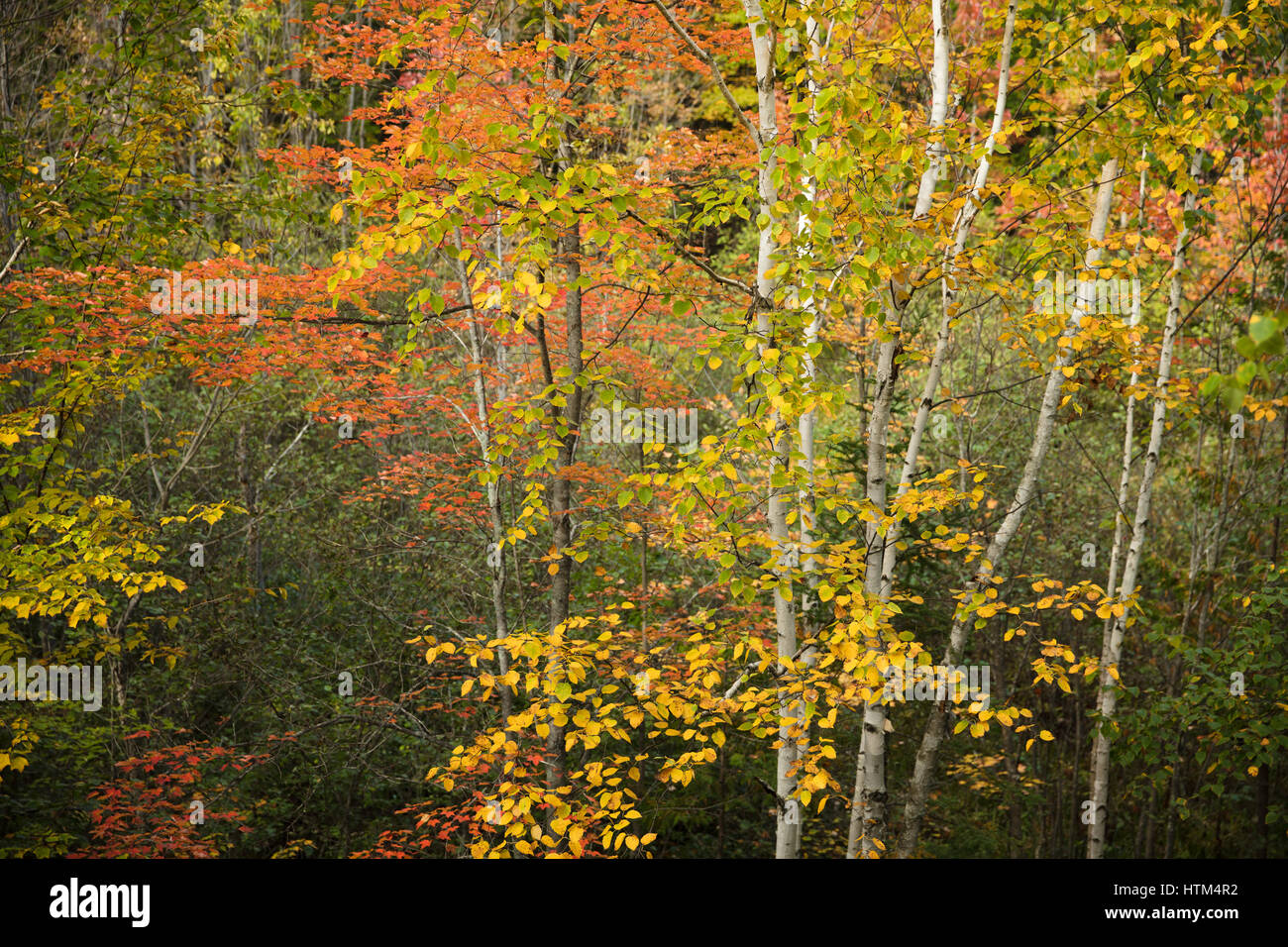 Herbstfärbung Farbsäume Charlton See, Nr. Felchen fällt, Bezirk von Sudbury, Ontario, Kanada Stockfoto