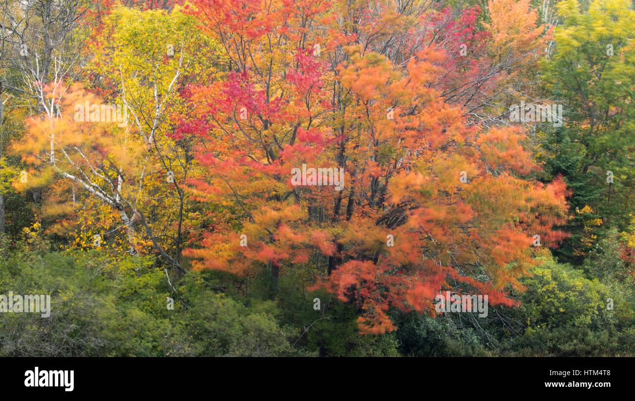 Herbstfärbung Farbsäume Frood See, Nr. Felchen fällt, Bezirk von Sudbury, Ontario, Kanada Stockfoto