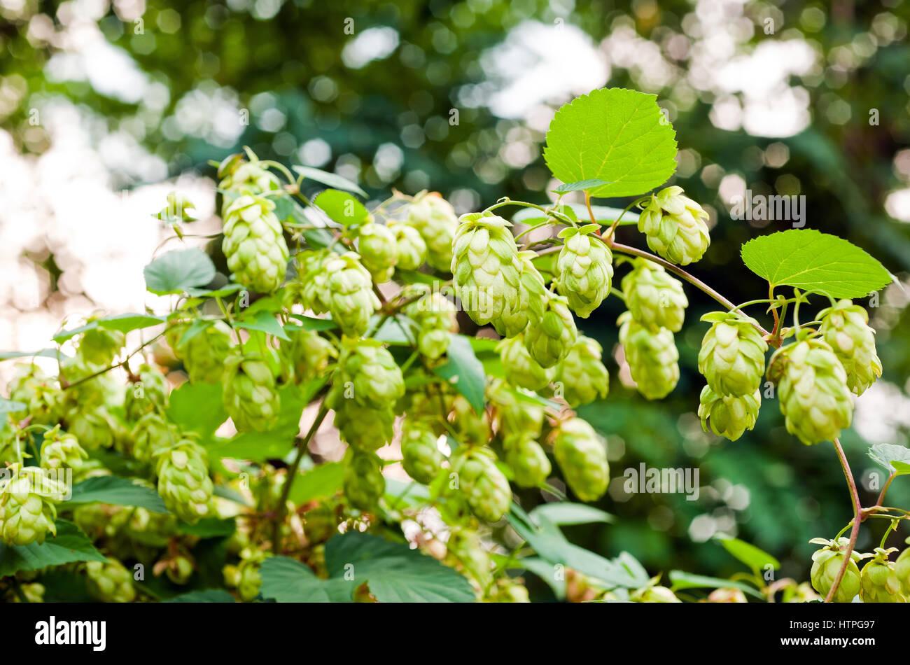 Hopfen Hintergrund Zweig mit Blättern Stockbild