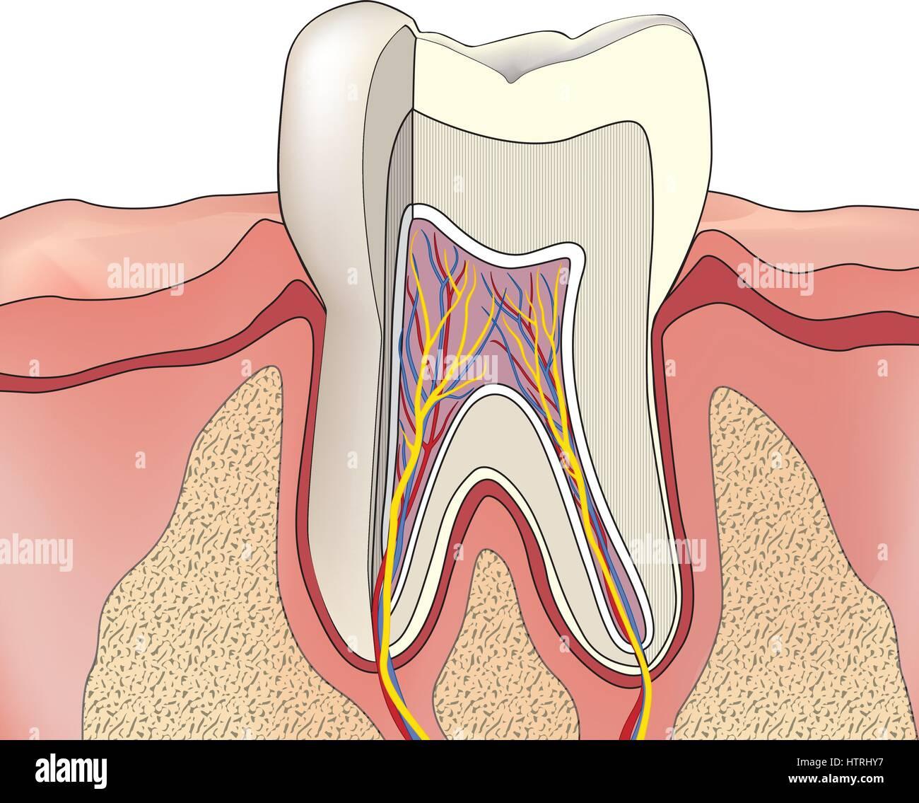 Zahnstruktur. Anatomie der Zähne. Dental Medical Illustration Vektor ...