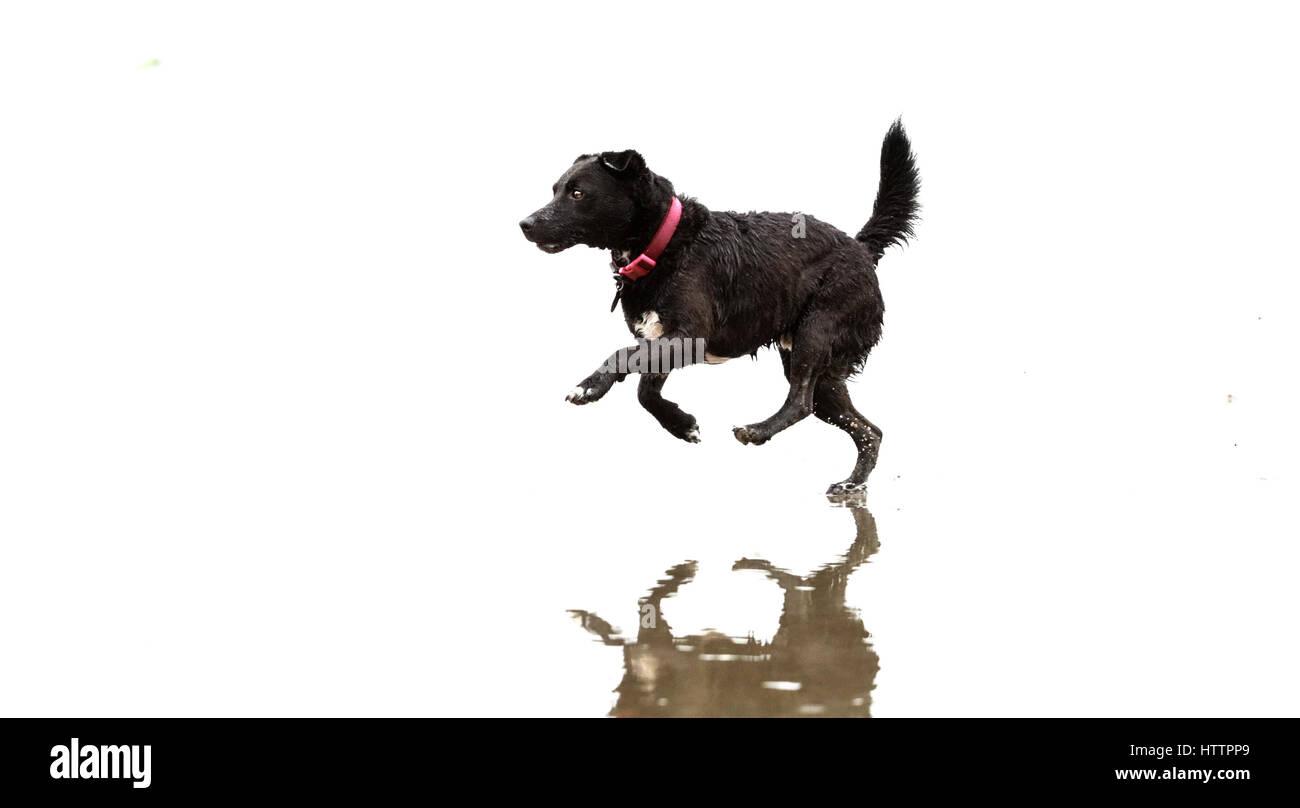 Schwarzer Patterdale Terrier, spielen und laufen an einem Strand in Nord-Wales Stockfoto