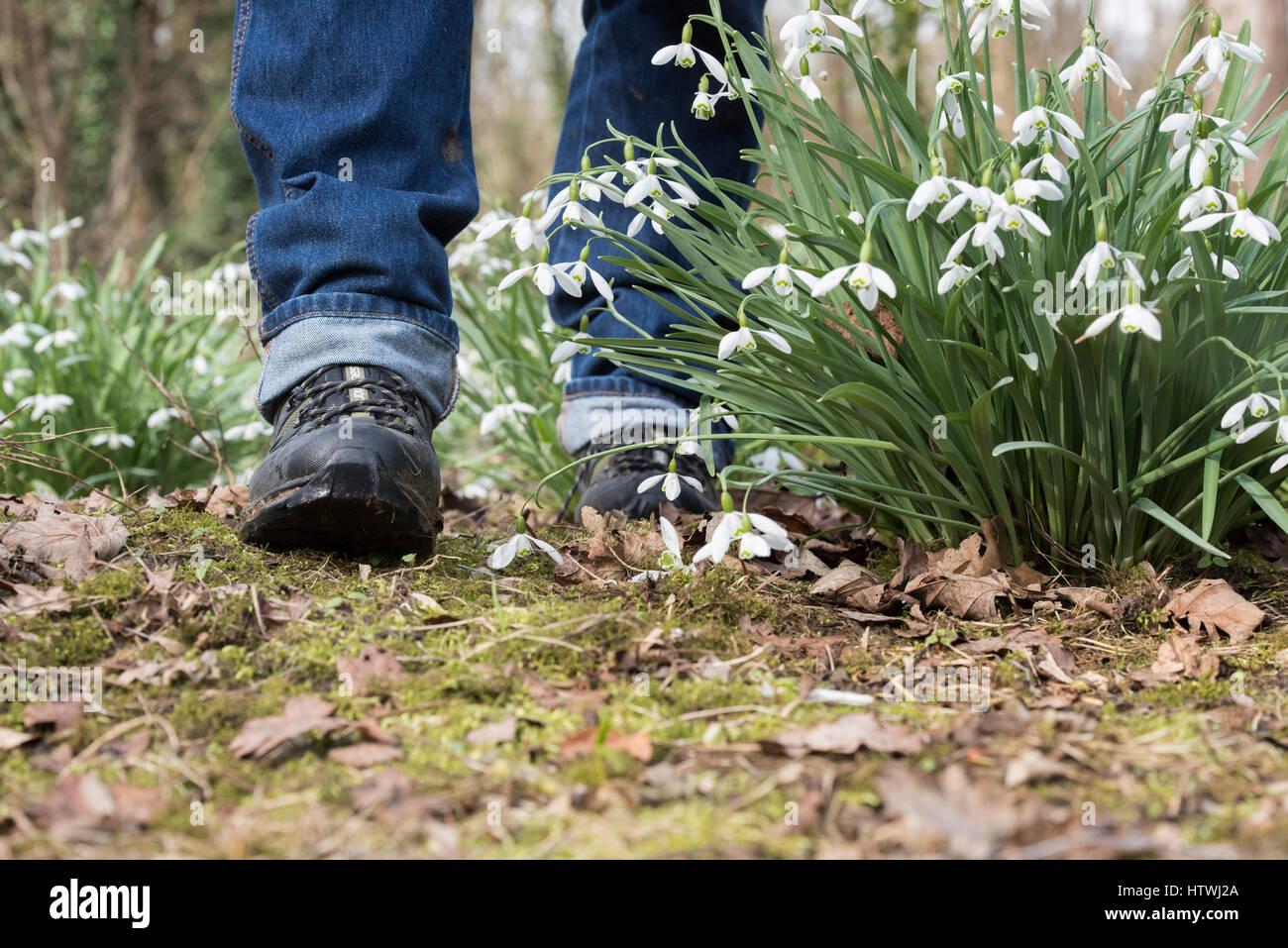Fuß aber Schneeglöckchen in einem Wald Garten. Evenley Holz Garten, Evenley, Northamptonshire, England Stockfoto