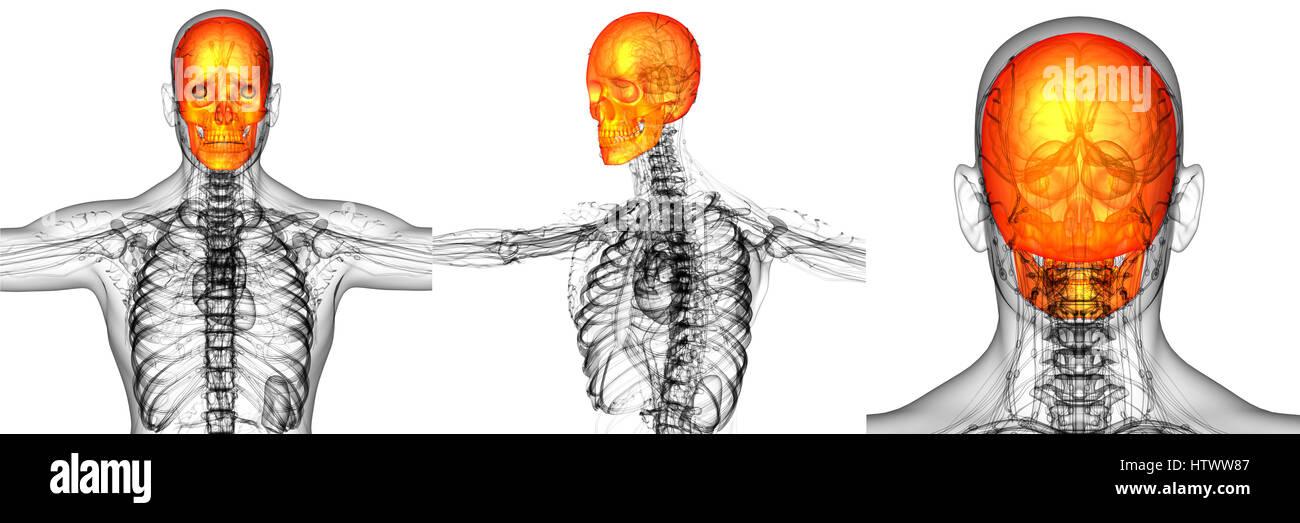 3D-Rendering medizinische Illustration der Schädelknochen Stockfoto ...