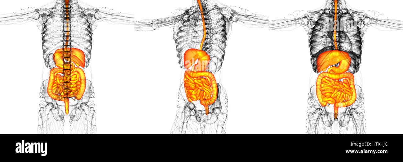 Charmant Männlich Verdauungssystem Fotos - Menschliche Anatomie ...