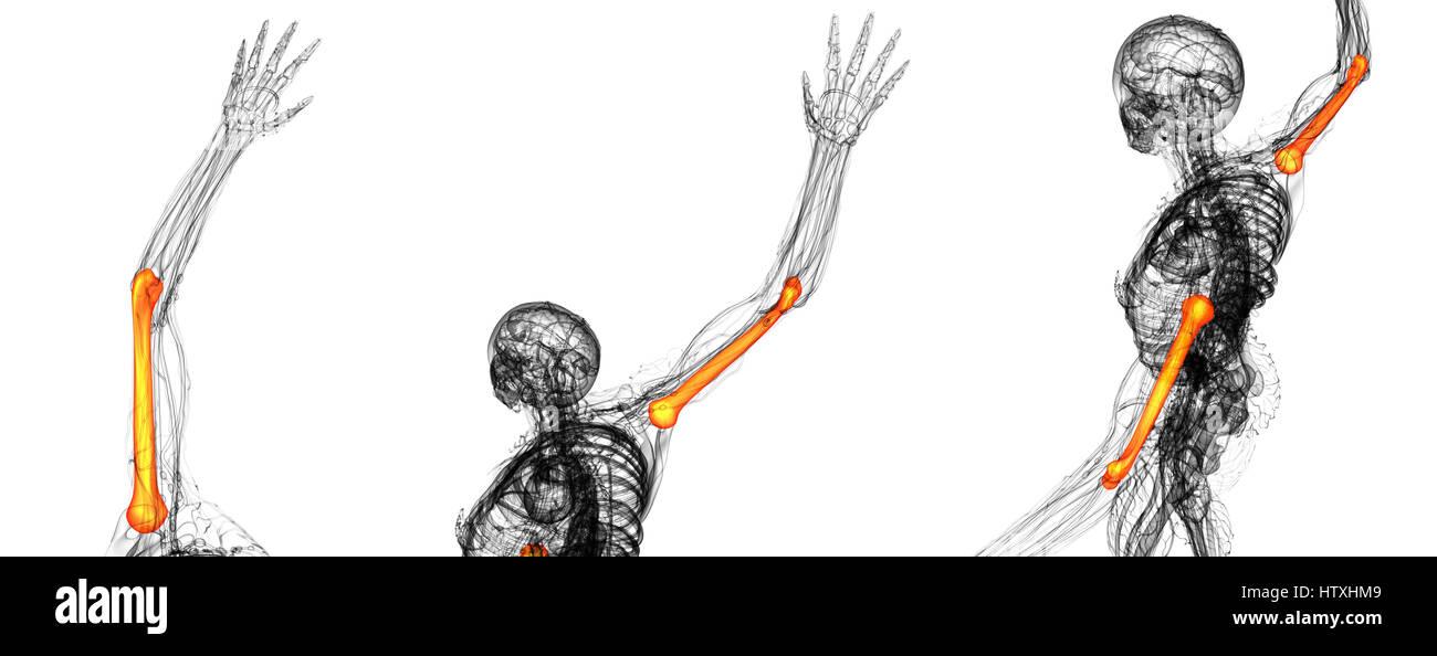 Humerus Bone Stockfotos & Humerus Bone Bilder - Alamy