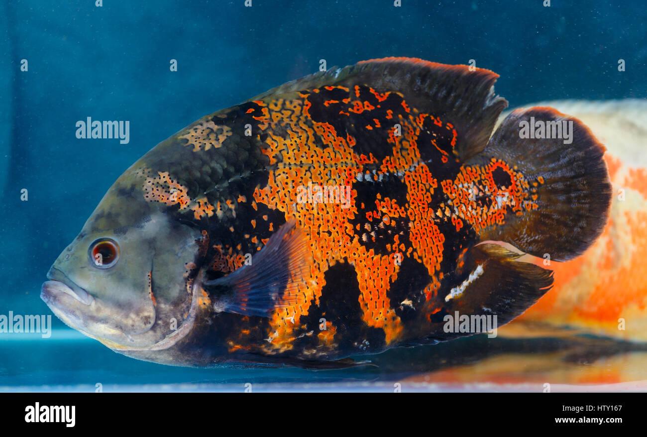 Astronotus ocellatus oscar fisch das aquarium fische for Fische arten