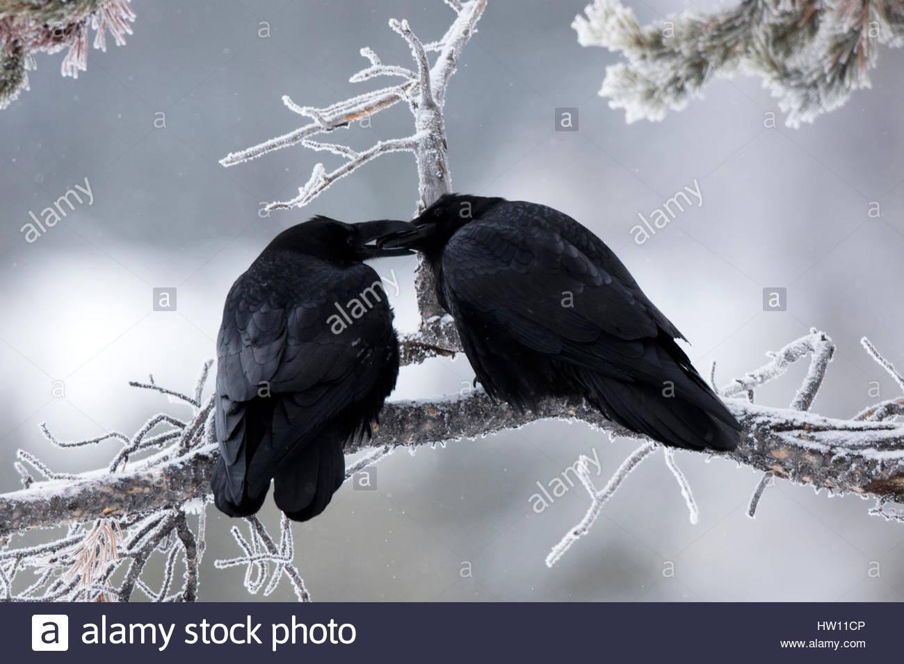 Ein paar Raben, Corvus Corax, teilen eine intime Geste auf einem gefrorenen Zweig. Stockbild