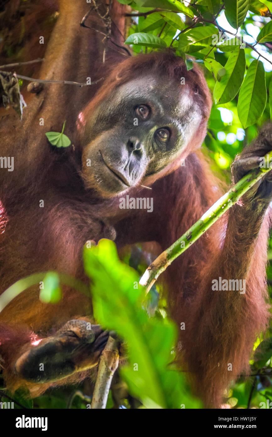 Porträt einer neugierig wild Bornean Orangutan in Kutai National Park, Indonesien. © Reynold Sumayku Stockbild